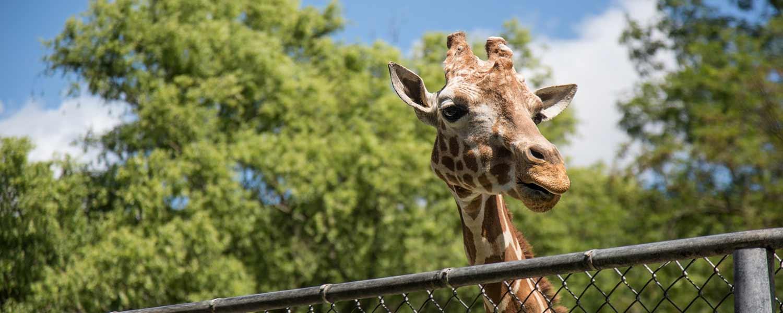 girafe du zoo de Beauval